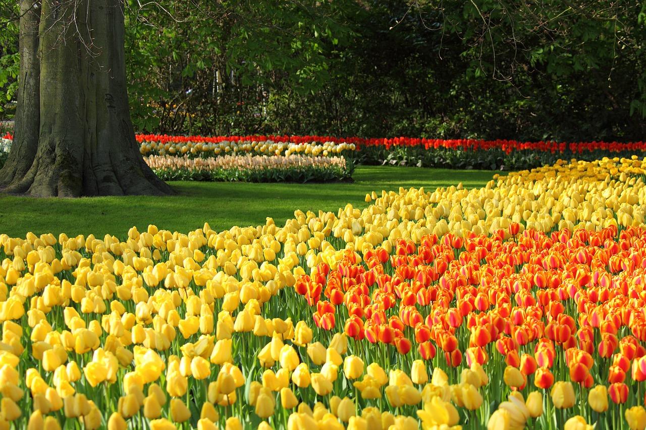 tulips-2545_1280